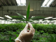 DOJA Cannabis Company Ltd.
