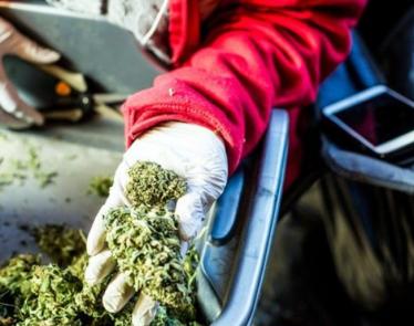 Cannabis Stock News