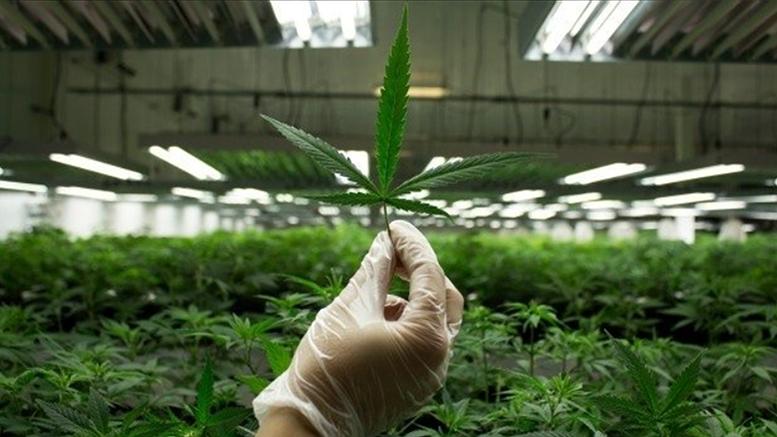 Cannabis Watch