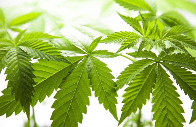 cannabis penny stocks to watch